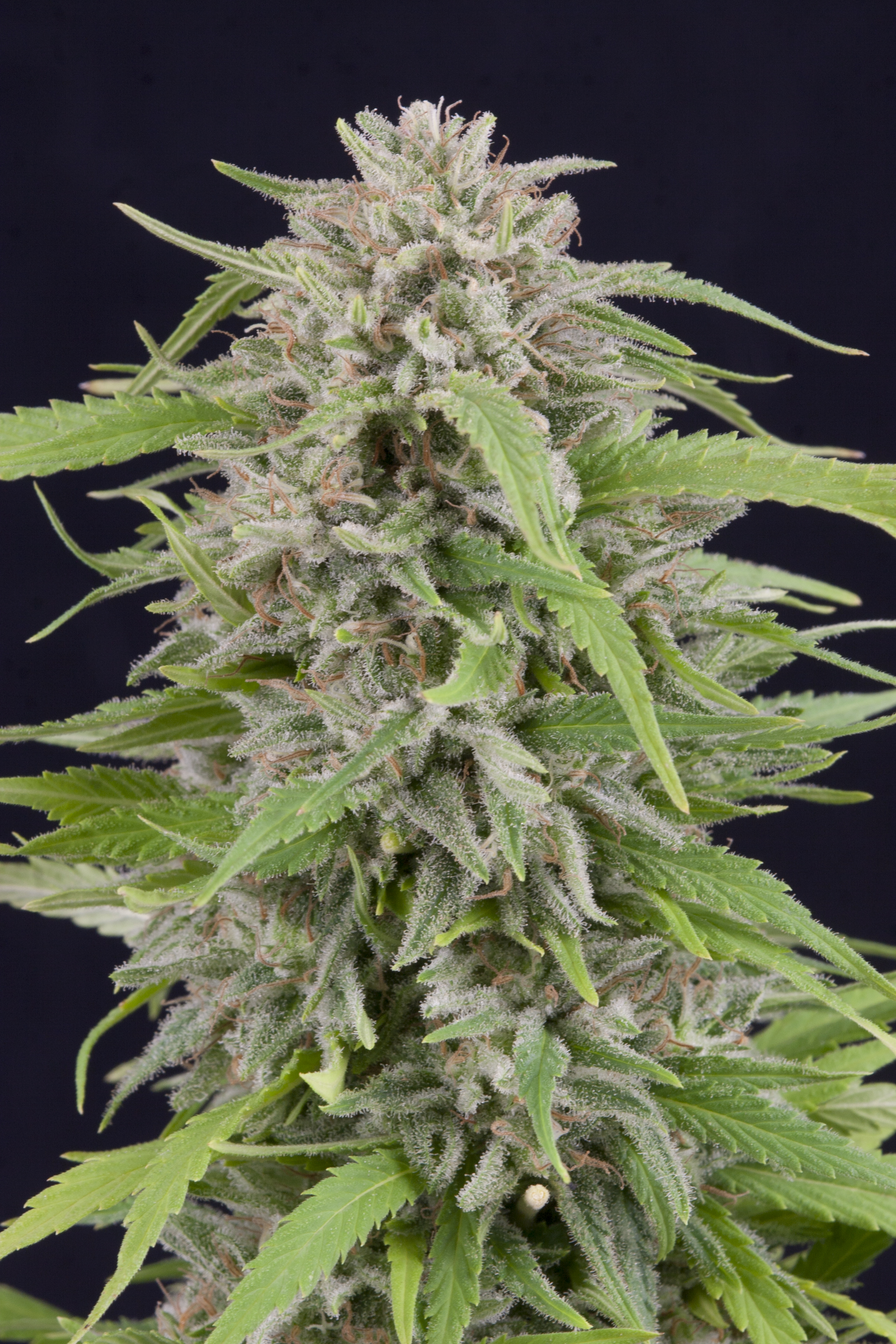 Exclusive Strains – Mendo Seeds